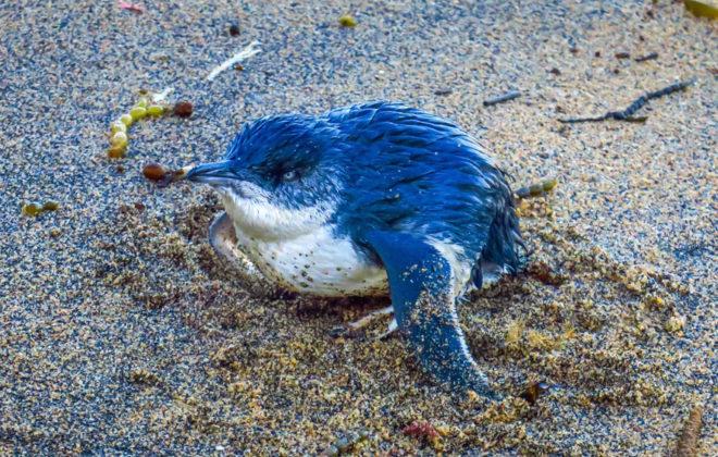 Bébé pingouin à Bells Beach