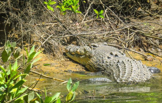 Crocodile à la rivière de Daintree
