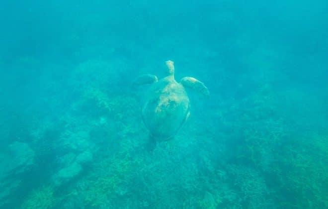 Snorkelling avec une tortue dans les Whitsundays
