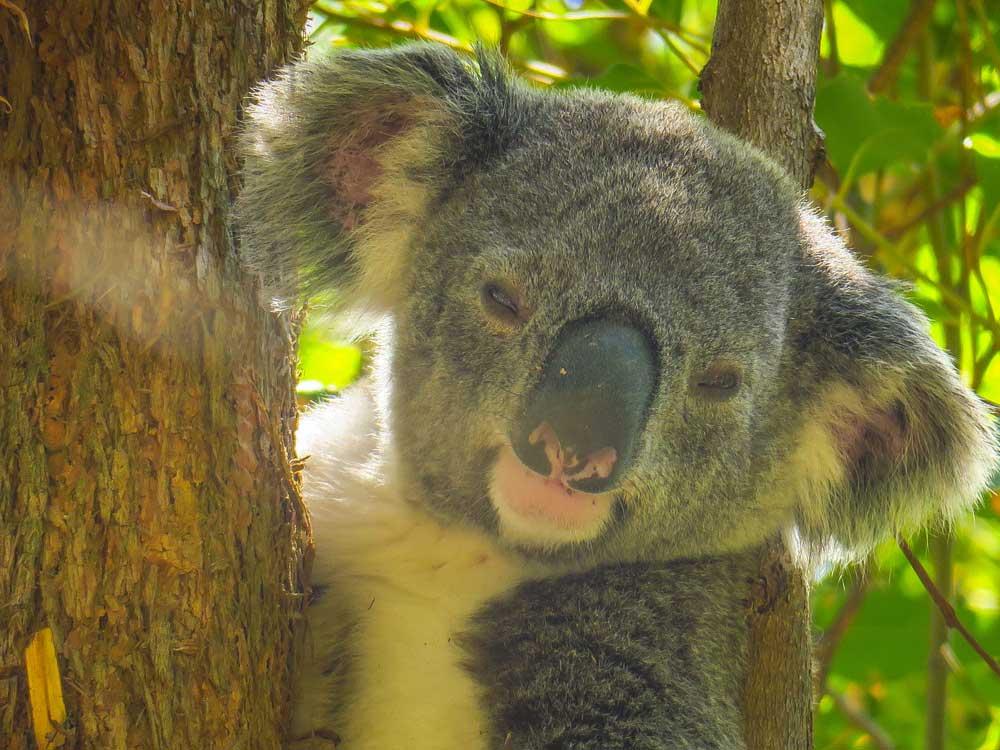 Koala Noosa Australie
